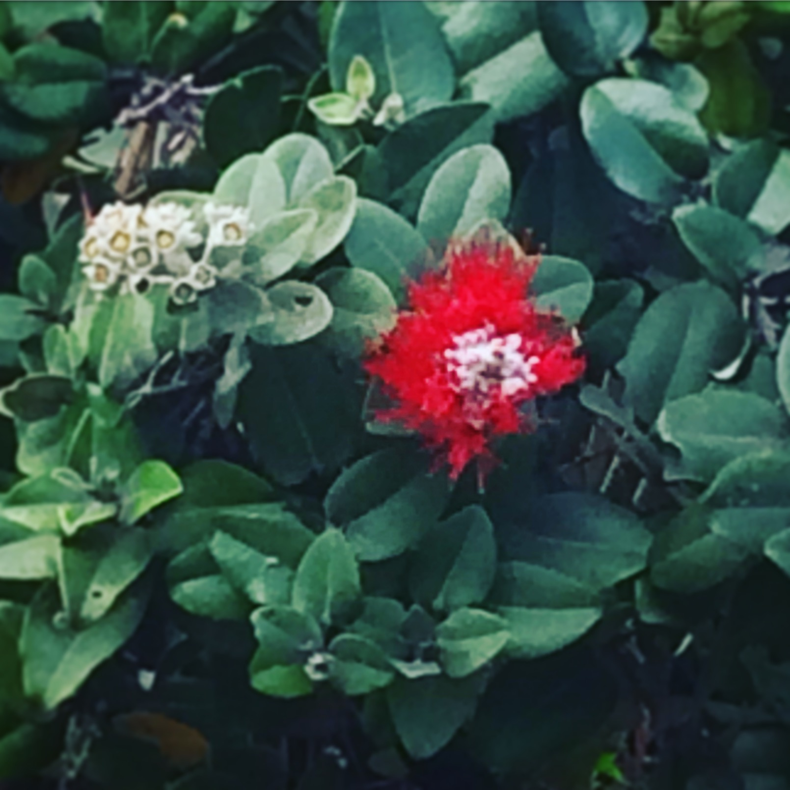 We can become like the Ohia, using our ancestry as a foundation for new growth, even after seemingly destructive forces. Aligns Root and Crown Chakras.