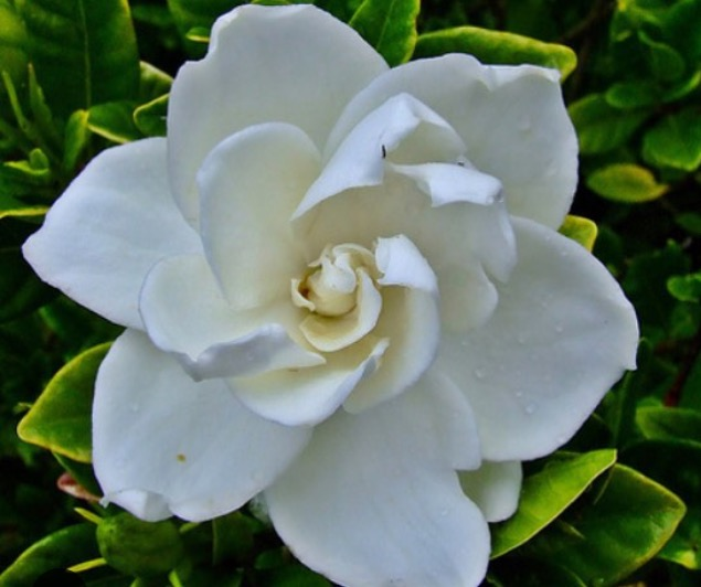 In the Presence of Grace: Gardenia Plant Spirit Medicine