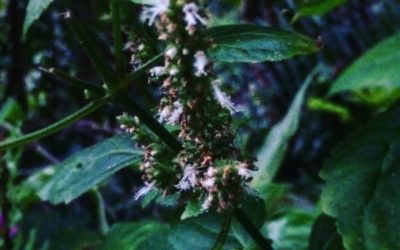 Cultivating Good Will and Service: Patchouli Plant Spirit Medicine