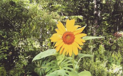Sunflower Plant Spirit Medicine: Using God's Power for Good